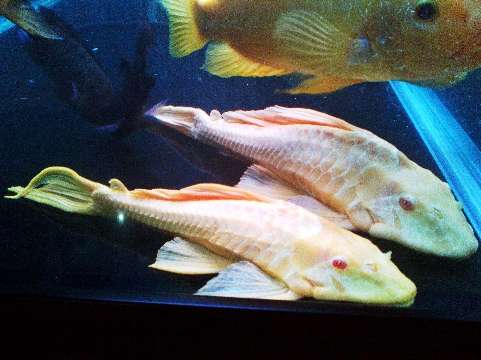 Albino Gibbiceps Pleco Plecostomus Fish Catfish
