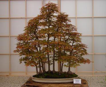 Artofbonsai Org View Topic Profile Peter Chan Bonsai Forest Maple Bonsai Bonsai