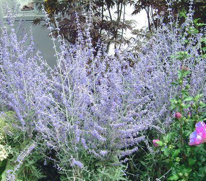Blauraute 39 blue spire 39 perowskie sp tbl her bienen trockener sonniger standort garden - Zimmerpflanzen sonniger standort ...