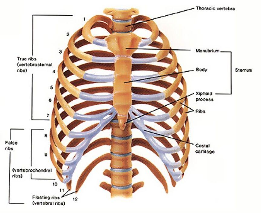 anatomy sternum   Anatomy   Pinterest   Anatomy, Radiology and Medicine