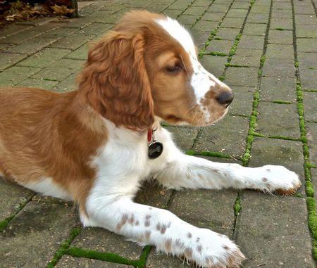 Penny Lane The Welsh Springer Spaniel Cute Puppy Welsh