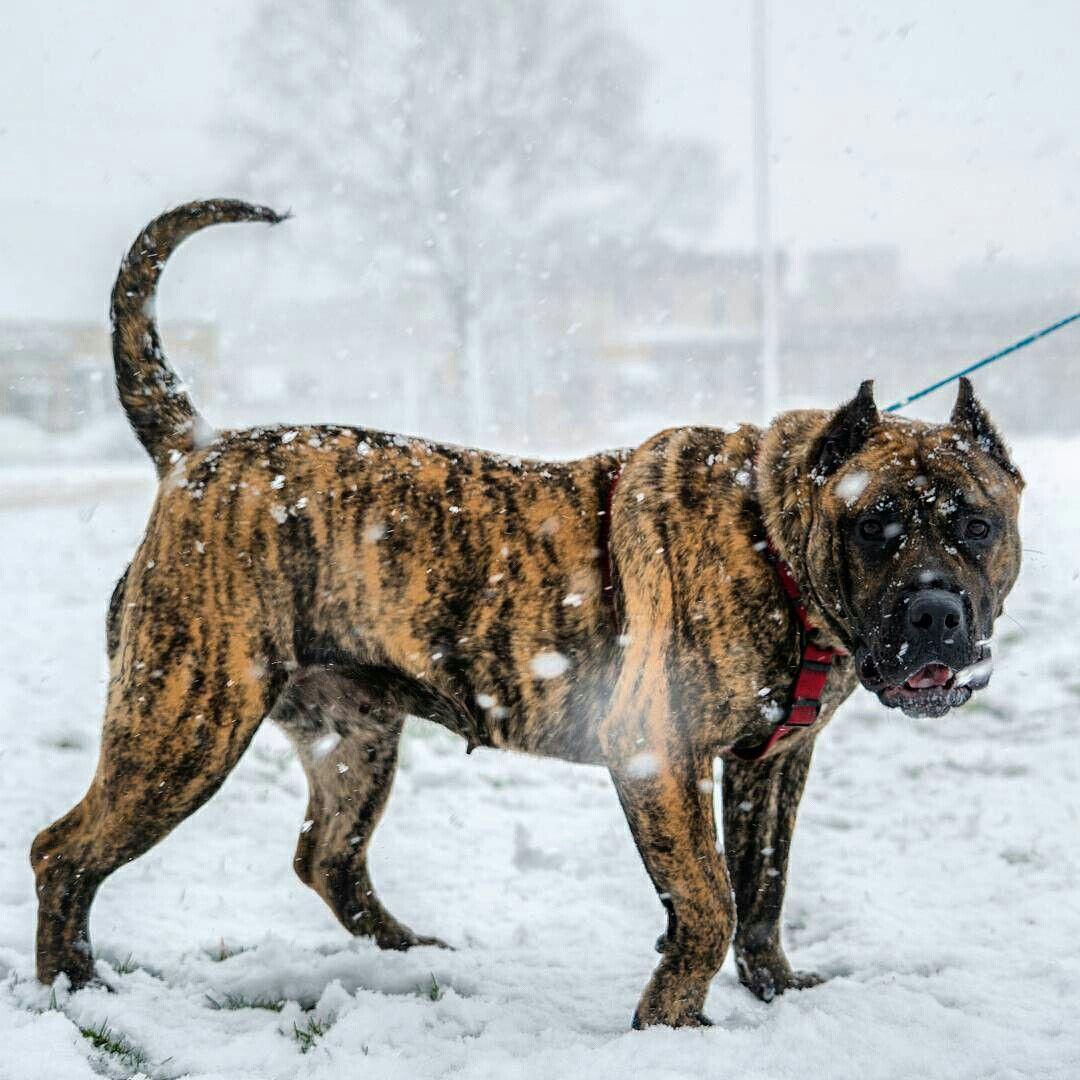 Instagram Toppresa Huge Dogs Presa Canario Rare Dogs