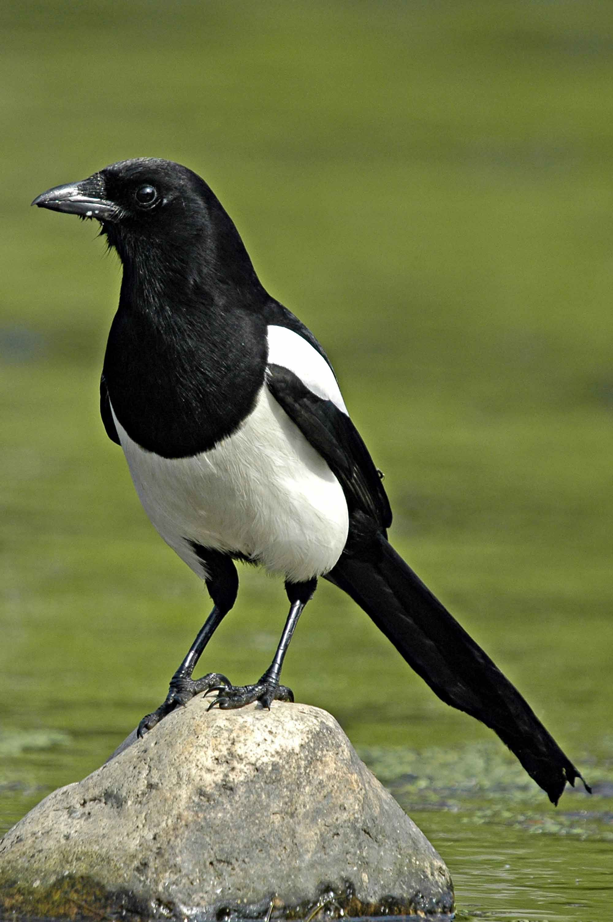 Magpie Birds In Backyards black billed magpie which i used for tracing in order to gain a