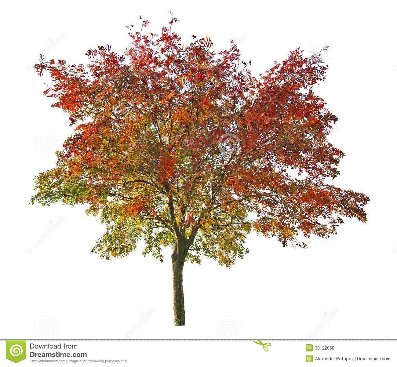 Red And Green Rowan Tree With Red Berries Rowan Tree Rowan Rowan Tree Tattoo Hd wallpaper rowan berries fruit plant