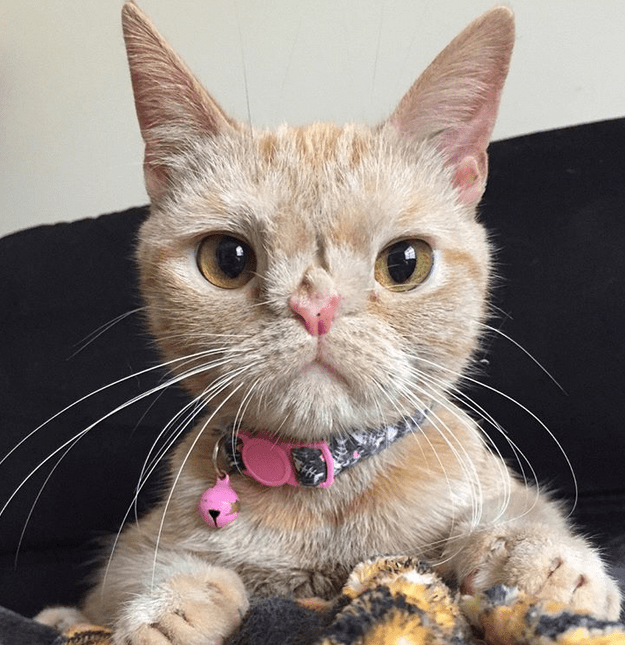 Meet The Adorable Cat With Manx Syndrome And A Chromosomal Abnormality Who Is Thriving Thanks To Her Wonderful Mom Cute Cats Cats Beautiful Cats