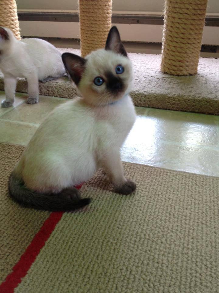 Cat Gallery Siamese Cats Cat Breeds Balinese Cat