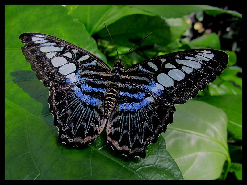 The Malaysian Blue Clipper
