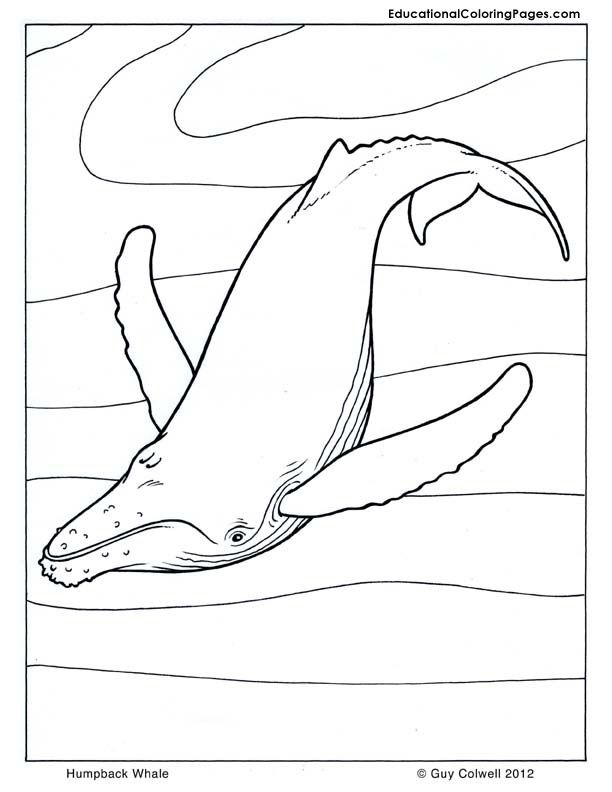 Humpback Whale coloring pages | Mammals Coloring Pages | Pinterest ...