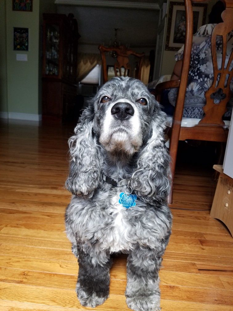 Blue Merle Cocker Spaniel Divanicole Cocker Spaniel Dog Pictures Dogs