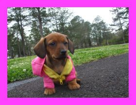 Miniature Dotson Google Search Dachshund Puppies For Sale
