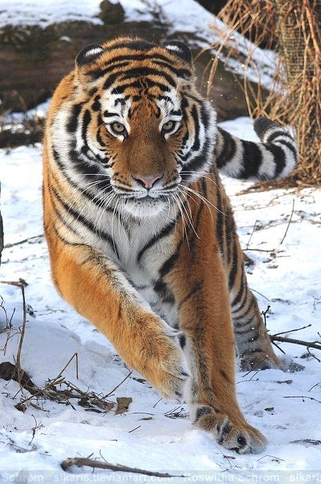 Eine junge sibirische Tigerin streicht durch ihr verschneites Gehege im Tiergarten Schönbrunn in Wien. *** A young female Siberian Tiger is strolling through her snow-covered enclosure at the Tiergarten Schönbrunn in Vienna.