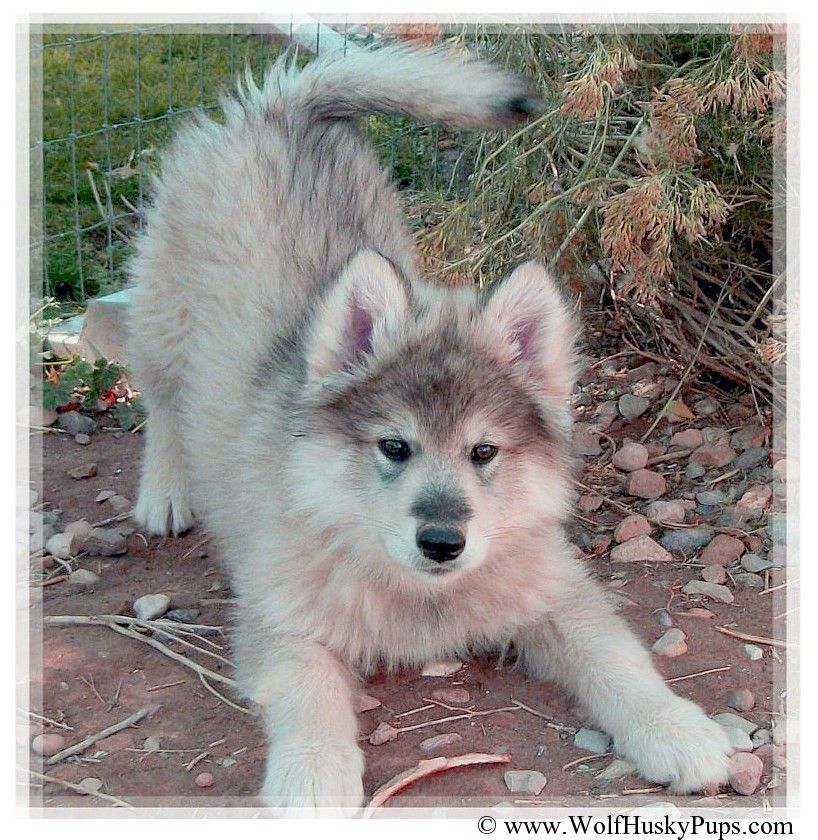 Giant Alaskan Malamute X Timber Wolf Beautiful Wolamute Puppies