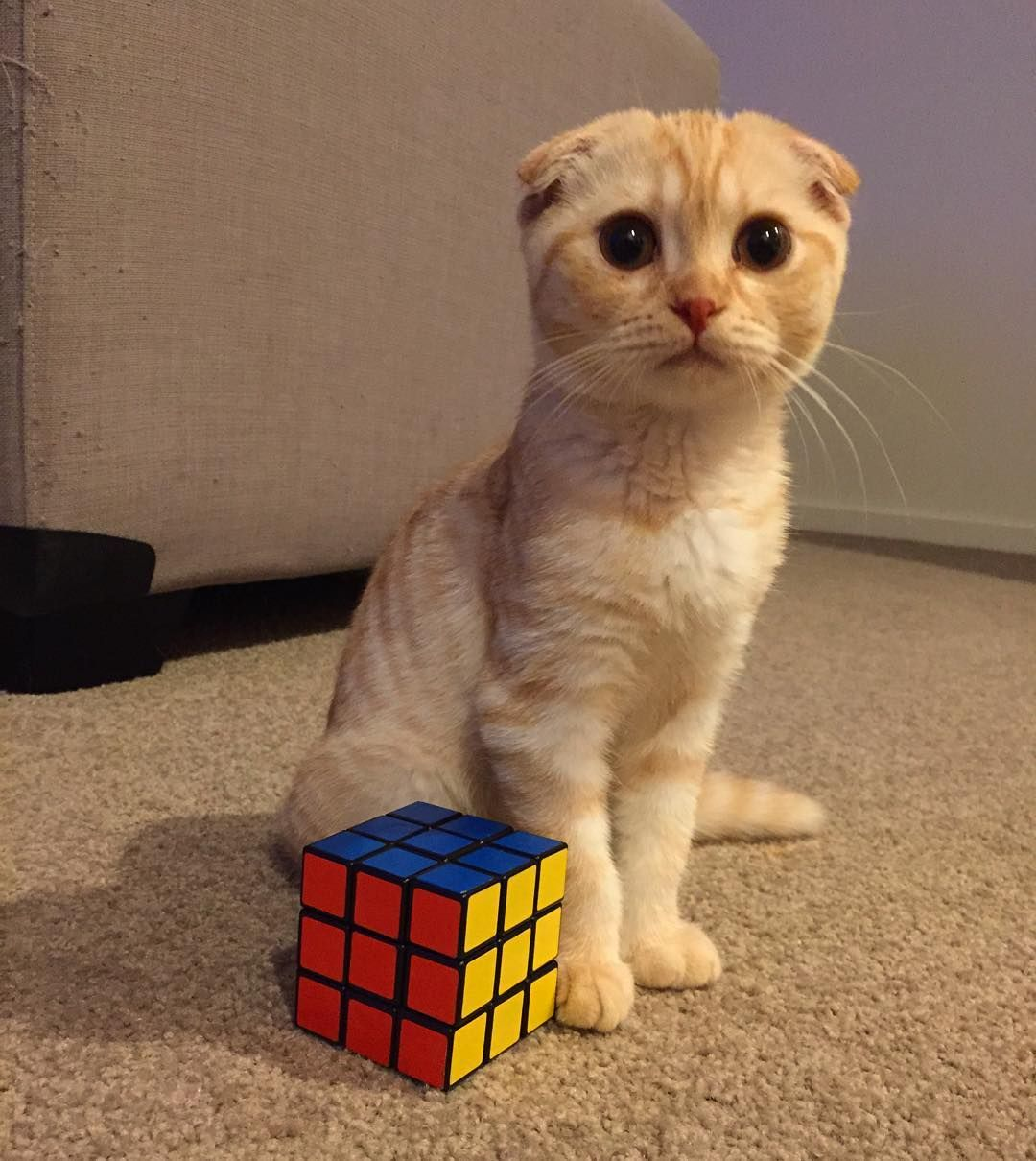 Pancake Just Competed His First Rubiks Cube At Just 4 Months Old What A Clever Kitten He Looks Pretty Proud Of My Himself Igcutest Cat Day Kittens Cool Cats