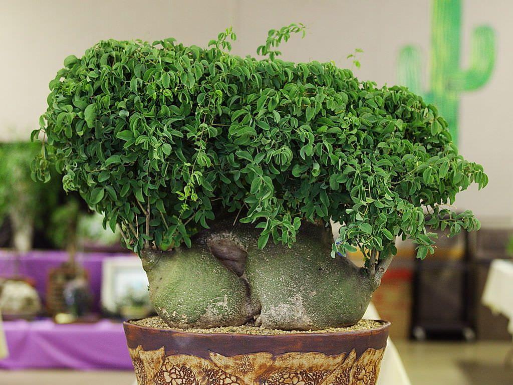 Adenia Glauca Plantes Inhabituelles Graines Vertes Plante