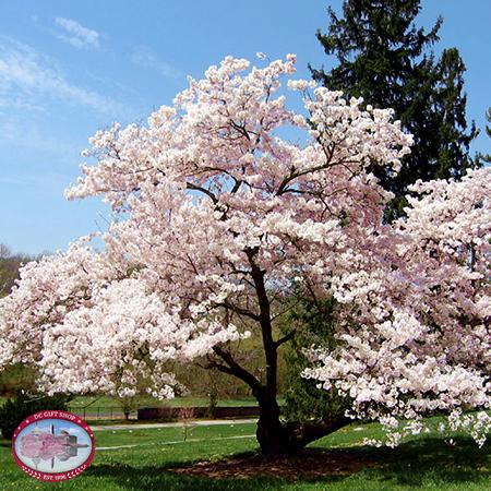 Live Yoshino Cherry Blossom Tree Seedling Tree Seedlings Blossom Trees Small Trees For Garden