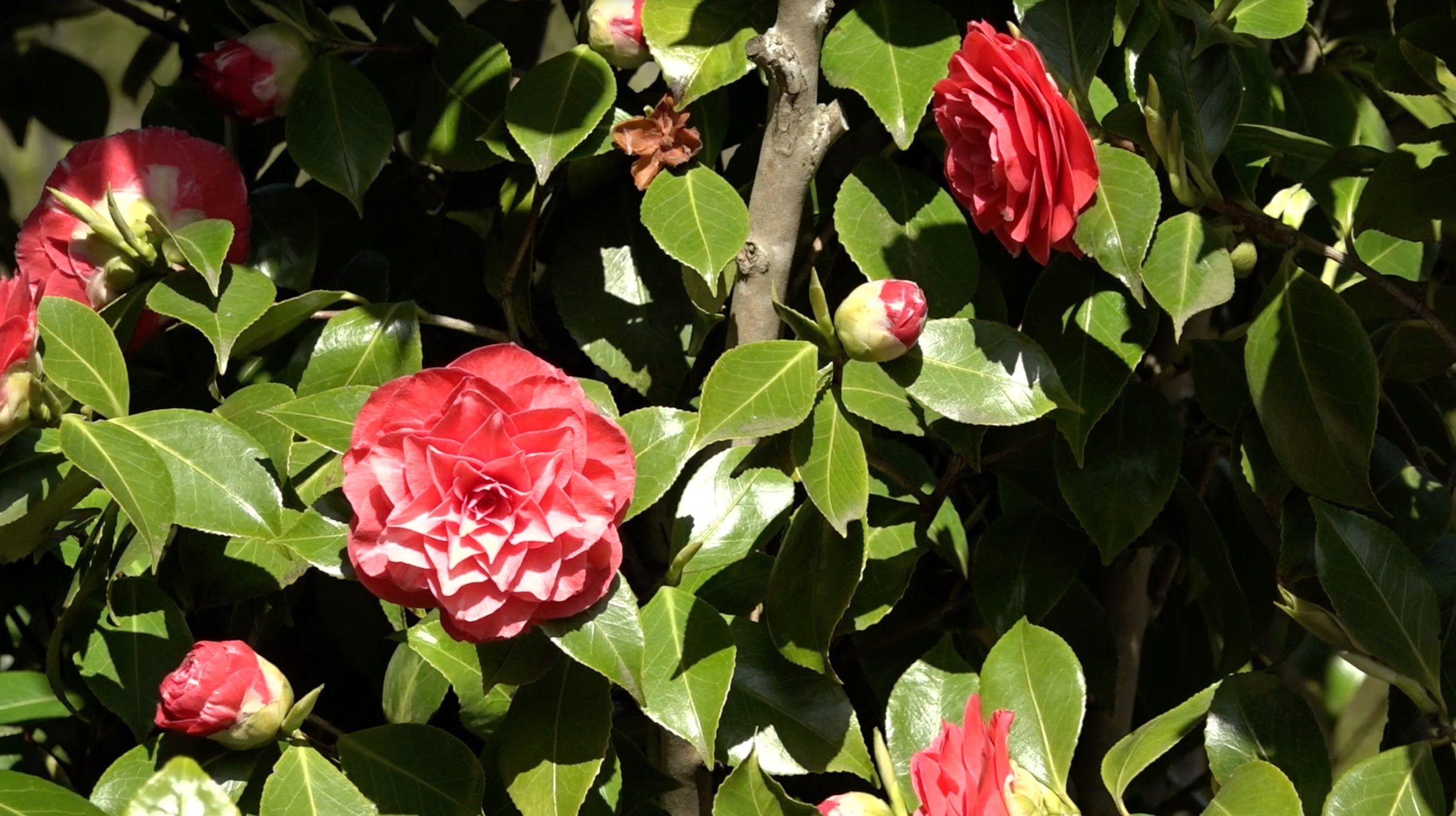 Hoe snoei je de camellia, camelia, Japanse roos?