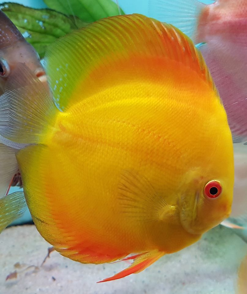 Photo Gallery Of Discus Fish Live Tropical Fish Live Tropical Fish In 2020 Discus Fish Fish Aquarium Decorations Tropical Freshwater Fish