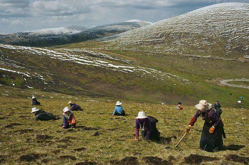 Đông trùng hạ thảo nguyên con Tây Tạng: Đông trùng hạ thảo nguyên con sấy khô hộp gỗ Tây T...