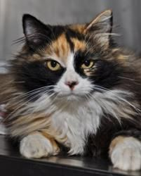 Mixie is an adoptable Domestic Long Hair Cat in Sonoma, CA. Mixie is a very loving cat. She wandered in a neighborhood for several weeks before being brought to Pets Lifeline. She likes playing with f...