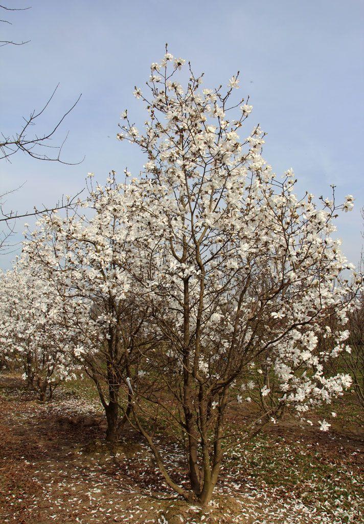 Magnolia Loebneri Merrill White Tree Magnolia X Loebneri