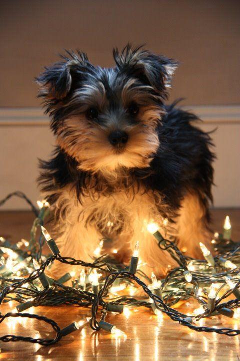 Harley Jane My Yorkie Puppy Christmas Lights Yorkie Puppy