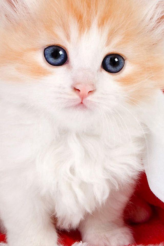 Cute Lovely Christmas Hat Kitten Iphone 4s Wallpaper Iphone 4 S