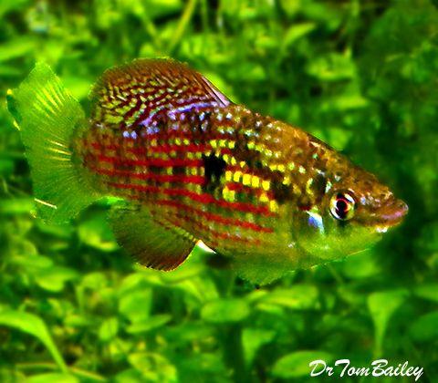 Killifish For Sale Online Tropical Fish Tanks Aquarium Fish Freshwater Aquarium Fish