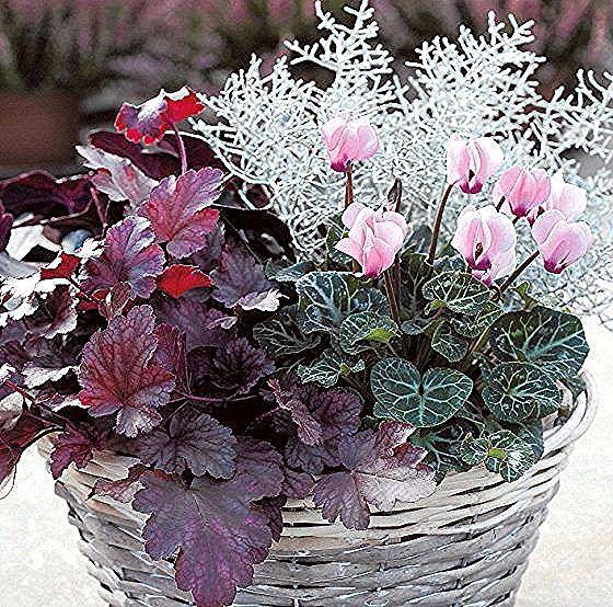 Balkon Arrangement Mit Alpenveilchen Und Silberdraht Alpenveilchen Mini Garten Pflanzen