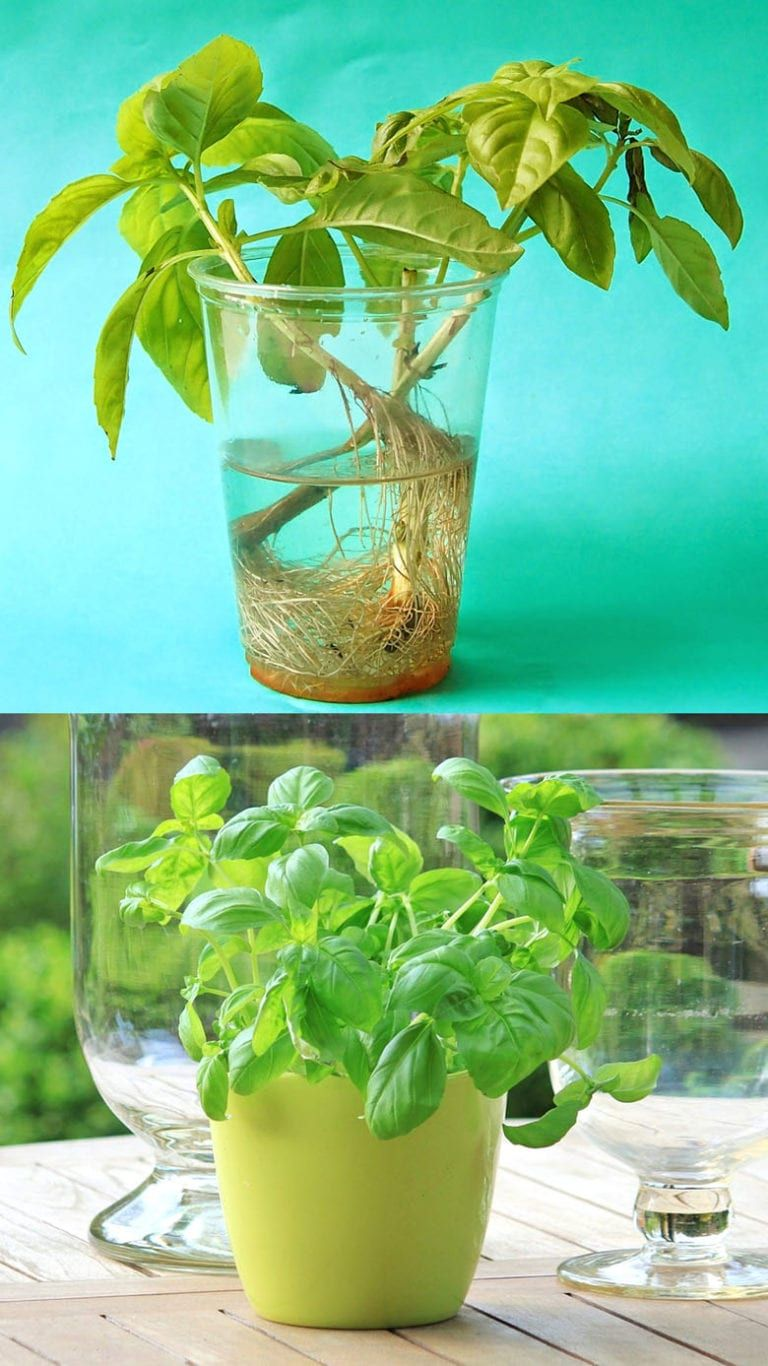 12 Best Veggies Herbs To Regrow From Kitchen Scraps Regrow