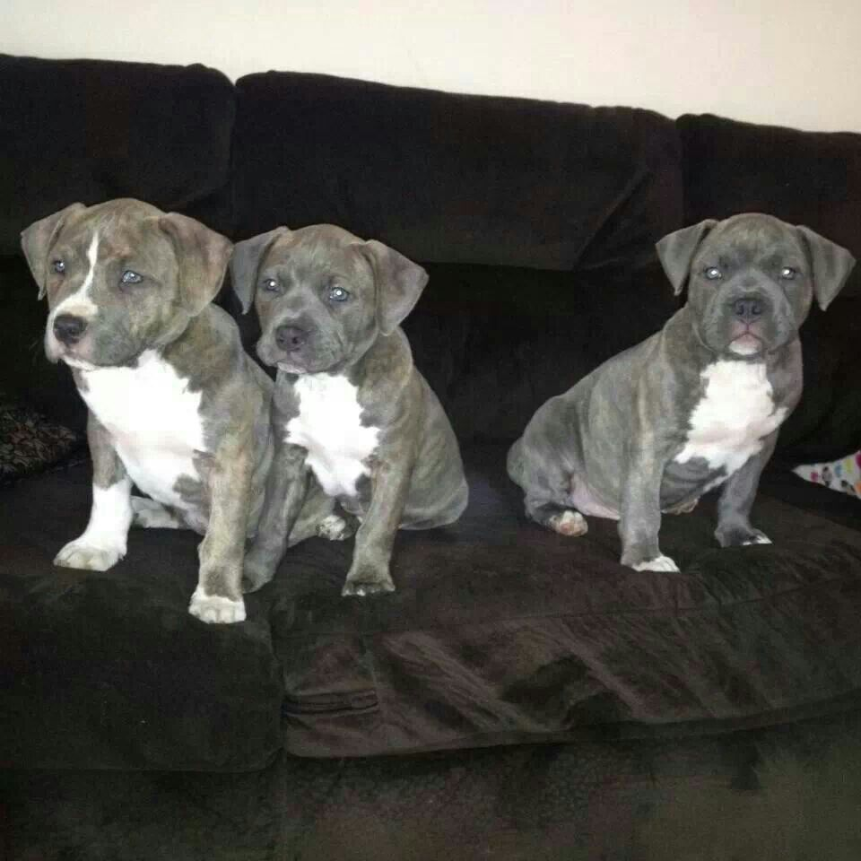 Razor Edge And Gotti Pitbull Female Puppies For Sale Pitbull