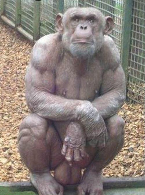 Hairless Baby Chimpanzee Hairless Baby Chimpanzee