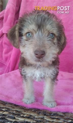 Poodle X Jack Russell Jackoodle For Sale In Clandulla Nsw