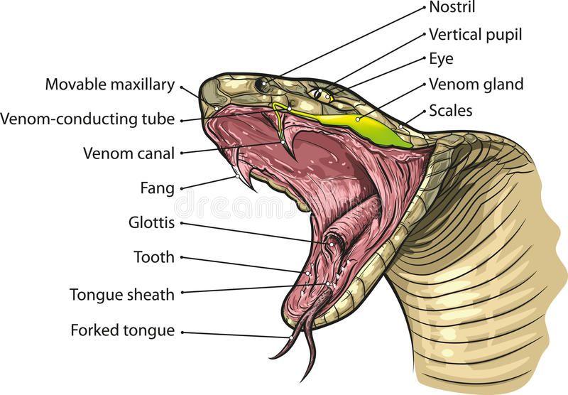 Snake Mouth Vector Illustration Of Snake Mouth Anatomy Ad Vector Mouth Snake Anatomy Snake Ad Mouth Anatomy Snake Snake Facts