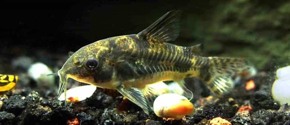 Peppered Cory Catfish Corydoras Paleatus Cory Catfish Catfish Freshwater Aquarium Fish