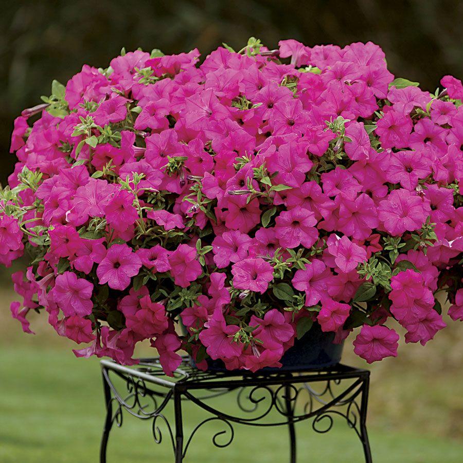 Sanguna Sumo Pink Google Search Petunia Plant Petunias Plants