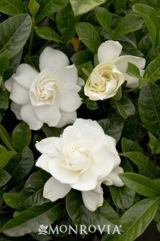 First Love Gardenia Grafted Monrovia This Evergreen Shrub Has