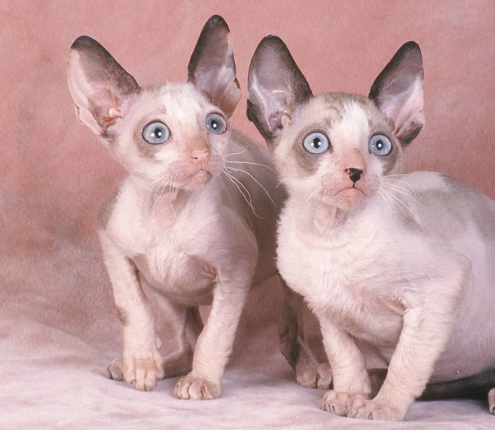 The Cornish Rex Cat Cat Breeds Encyclopedia Cats
