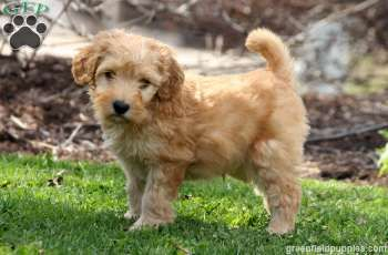 Chestnut Whoodle Miniature Puppy For Sale In Pennsylvania