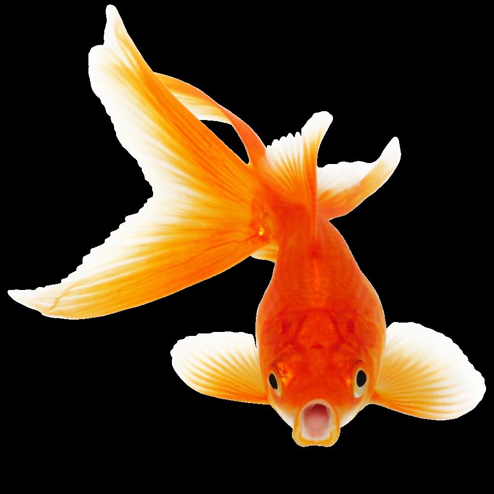 Real Fish Png Clipart Fish Clipart Fish Goldfish