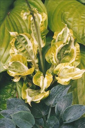 """Hosta 'Totally Awe Sum' *New - Sport of H.'Sum & Substance', Height 16"""" Spread 18"""" Part-Full Shade, Several shades of green, gold and white appear on the dramatically twisted, curled, folded, and corrugated leaves. White streaks near the center of the leaves appear to have been painted on with watercolors. Pale lavender flowers appear in mid to late summer. Breeder - Mike Koller"""