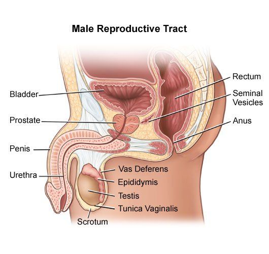 male reproductive system diagram blank | diagram | pinterest, Human Body