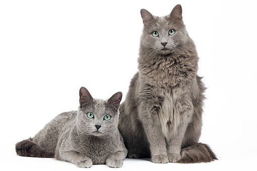 My Chloe Nebelung Cat Looks Personality And How To Care For Your Nebelung Cat Nebelung Cat Russian Blue Russian Blue Cat