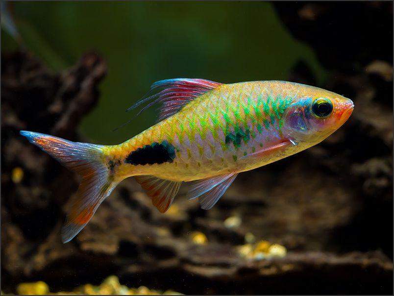 Aqua Vita Biotop Akvaristika In Teraristika Poglej Temo Dawkinsia Exclamatio Aquarium Fish Beautiful Tropical Fish Tropical Fish