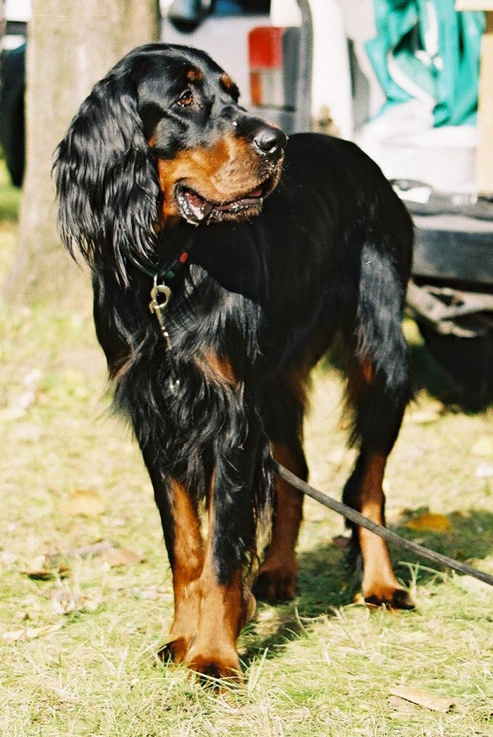 Pin By Nancy Gaertner On Pets I Need Like Now Gordon Setter Dogs Dog Breeds