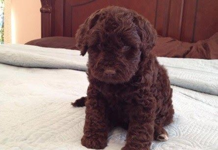 Pick A Doodle Farms Northwest Arkansas Labradoodle Puppies