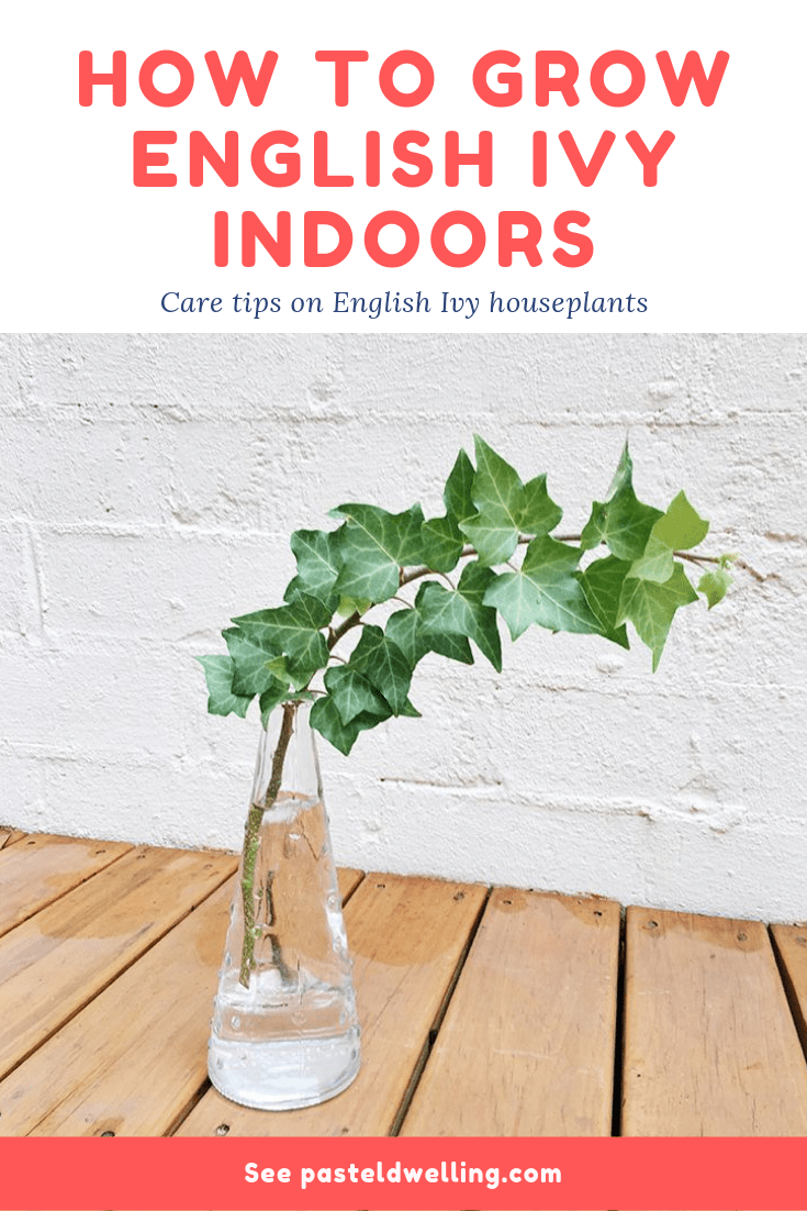 English Ivy Plant Care Tips is part of Ivy plant indoor, English ivy plant, Hedera helix, Ivy plants, Plant care, Plants - Care tips on growing English Ivy (Hedera helix) As A Houseplant