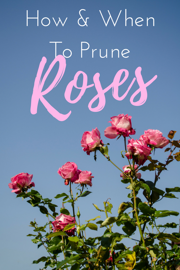 If You Are Wondering When To Prune Roses Or Even How To Prune Roses Then Get To Clicking Whether It Be Pruning Roses When To Prune Roses Pruning Roses Spring