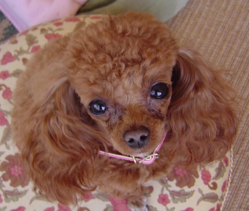 Red Teacup Poodle Adult Dogmom Poodle Puppy