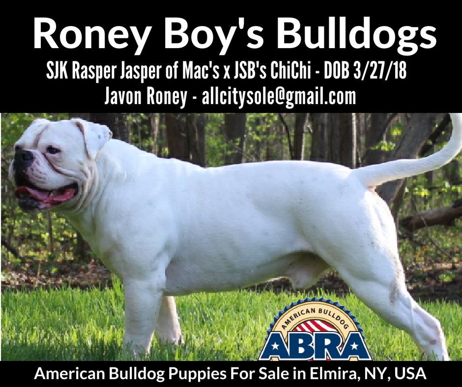 American Bulldog Puppies For Sale Abra American Bulldog Registry Archives American Bulldog Puppies American Bulldog Puppies For Sale