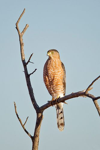 Perched Juvenile Cooper's Hawk by Jeff Dyck